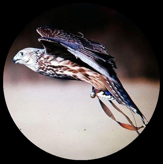 Falke | Vergrämen